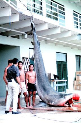 TIGER SHARKS AND TIGER SHARK ATTACKS | Facts and Details