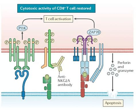 A new target for cancer immunotherapy – NKG2A, the future