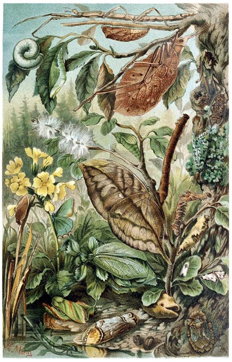 Insect Mimicry – Old Book Illustrations