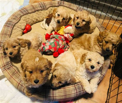Cockapoo puppy for sale/toy poodle & cocker spaniel | Dogs
