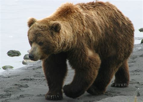The Thoughts of a Big Brown Bear