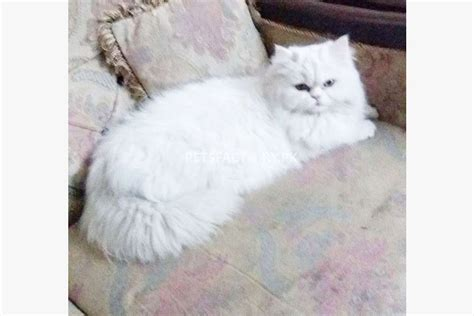 White Persian Cat For Sale In Lahore