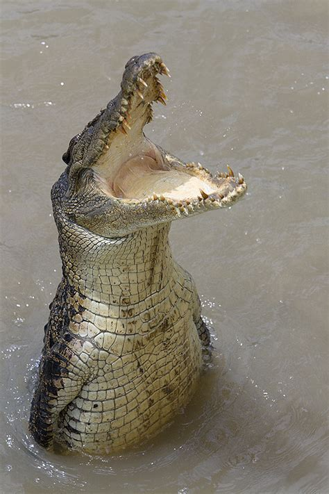 Saltwater Croc on the Adelaide River Jumping Crocc Tour